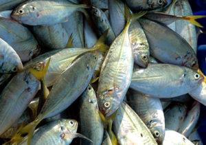 fish-gaz13-10oct05
